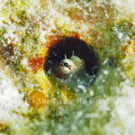 ヤイトギンポ 学名:Glyptoparus delicatulus