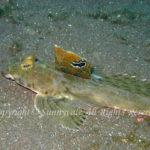 ヨメゴチ 学名:Calliurichthys japonicus