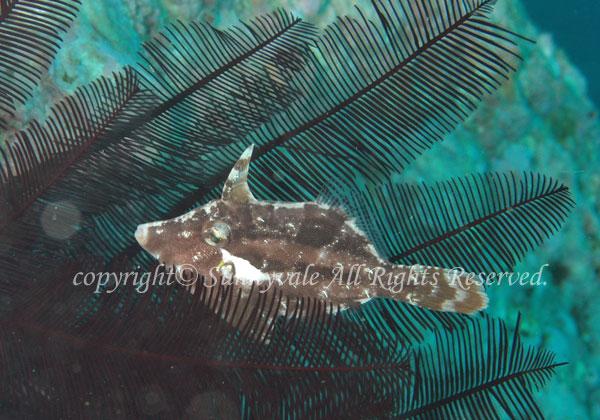 ヨソギ 学名:Paramonacanthus japonicus