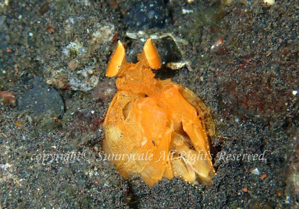 トラフシャコ属の一種 学名:Lysiosquilloides sp