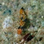 アカコソデウミウシ 学名:Polycera sp