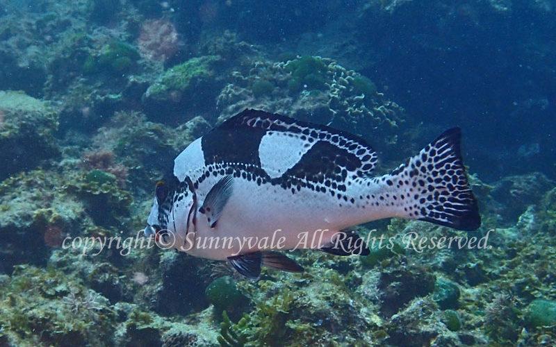 アジアコショウダイ 若魚 学名:Plectorhinchus picus