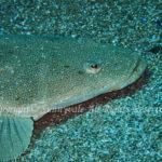 マゴチ 学名: Platycephalus sp