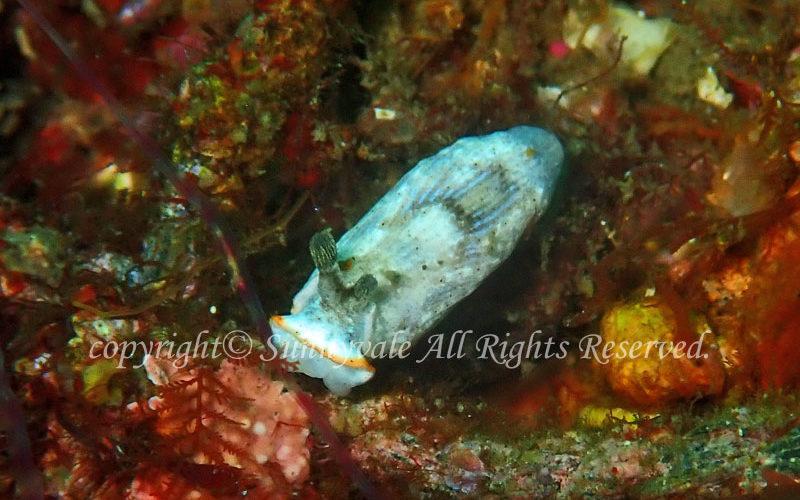 サギリオトメウミウシ 学名:Dermatobranchus semistriatus