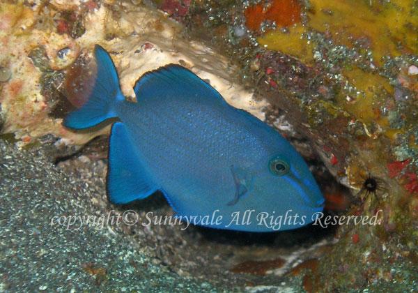 アカモンガラ 幼魚 学名:Odonus niger