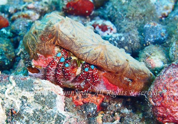 アオボシヤドカリ 学名:Dardanus guttatus