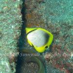 アケボノチョウチョウウオ 幼魚 学名:Chaetodon melannotus