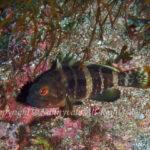 アオハタ 学名:Epinephelus awoara