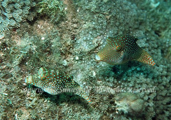 アラレキンチャクフグ 学名:Canthigaster solandri