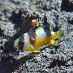 バンガイドゥモワゼル 学名:Amblypomacentrus clarus