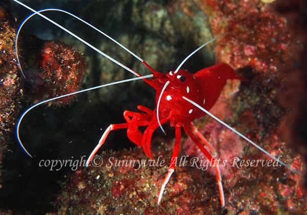シロボシアカモエビ(ホワイトソックス) 学名:Lysmata debelius