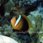 ダスキーアネモネフィッシュ 学名:Amphiprion melanopus