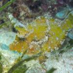 フチドリカワハギ 学名:Acreichthys tomentosus