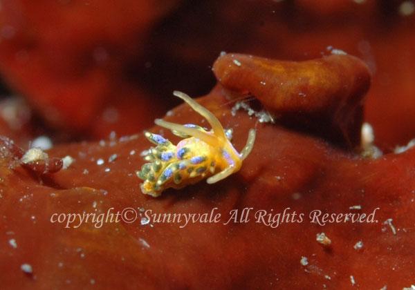 フジエラミノウミウシ幼体 学名:Trinchesia ornata