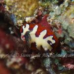 フジナミウミウシ 学名:Goniobranchus fidelis