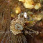 フジタウミウシ属の一種 学名:Polycera sp.