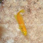 フタホシキツネベラ 学名:Bodianus bimaculatus