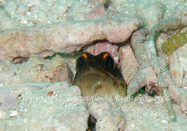 ゴールドスペックジョーフィッシュ 学名:Opistognathus randalli