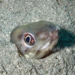 ゴテンアナゴ 学名:Ariosoma anago