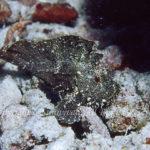 ハダカハオコゼ 学名:Tanianotus triacanthus