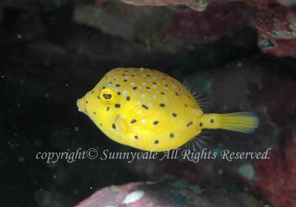 ハコフグ 幼魚 学名:Ostracion immaculatus