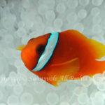 ハマクマノミ 学名:Amphiprion frenatus