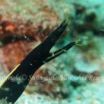 ハナヒゲウツボ 幼魚 学名:Rhinomuraena quaesita