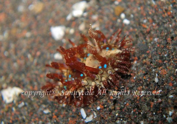 ハナショウジョウウミウシ 学名:Madrella gloriosa