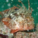 ハオコゼ 学名:Hypodytes rubripinnis