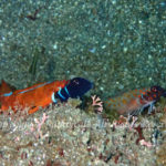 ヒメギンポ 学名:Springerichthys bapturus