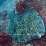 ヒラメ 学名:Paralichthys olivaceus