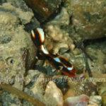 ヒレグロコショウダイ 幼魚 学名:Plectorhinchus lessonii