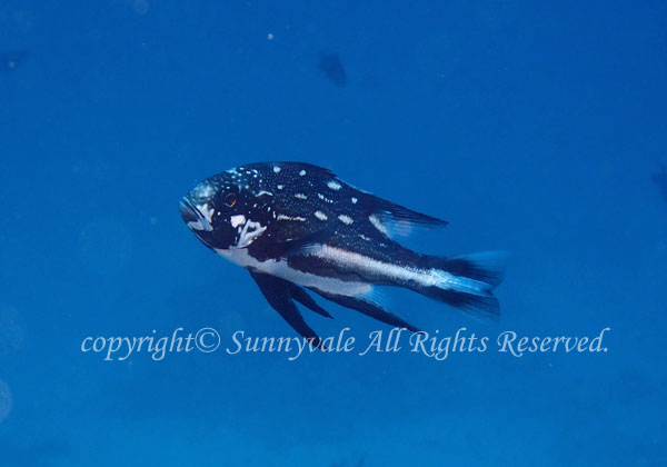 ホホスジタルミ 若魚 学名:Macolor macularis