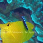 ホンソメワケベラ幼魚  学名:Labroides dimidiatus