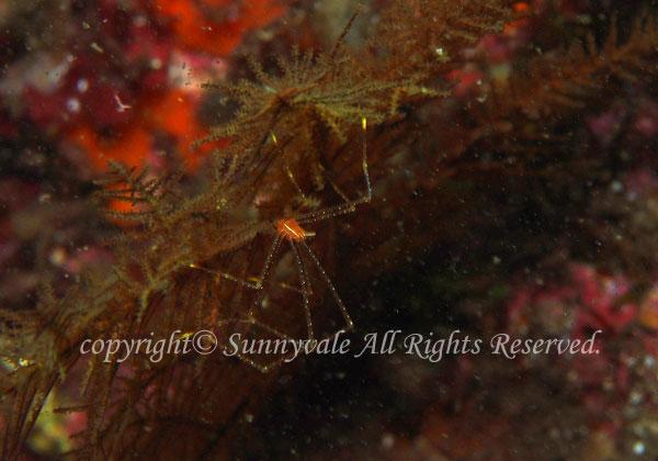 ホシゾラワラエビ 学名:Chirostylus stellaris