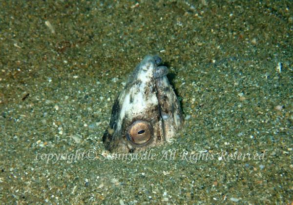 ホタテウミヘビ 学名:Pisodonophis zophistiu