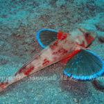ホウボウ 学名:Chelidonichthys spinosus
