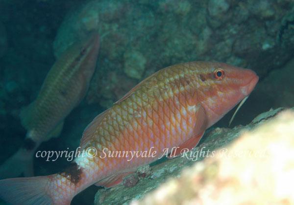 ホウライヒメジ 学名:Parupeneus ciliatus