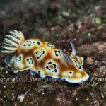 ヒョウモンウミウシ 学名:Goniobranchus leopardus