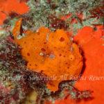 イロカエルアンコウ 学名:Antennarius pictus