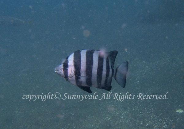 イシダイ幼魚 学名:Oplegnathus fasciatus