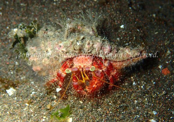 イシダタミヤドカリ 学名:Dardanus crassimanus