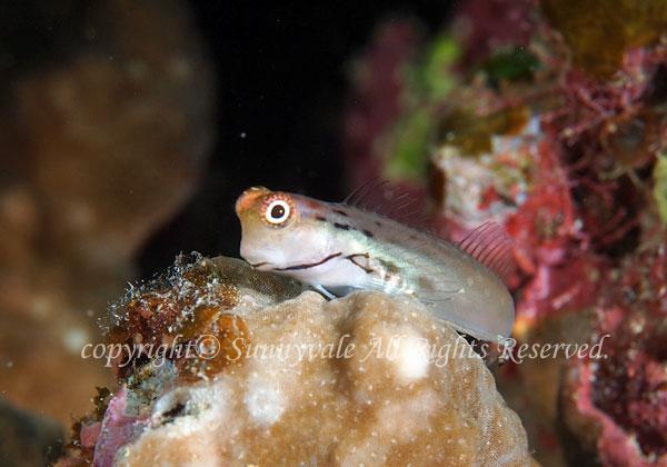イシガキカエルウオ 学名:Ecsenius yaeyamaensis