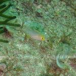イトフエフキ 幼魚 学名:Lethrinus genivittatus