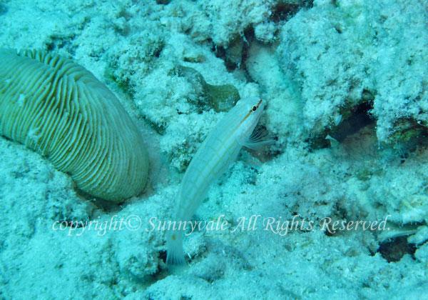 ジュウモンジサラサハゼ 学名:Amblygobius decussatus