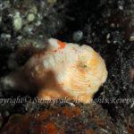 カエルアンコウモドキ 学名:Antennatus tuberosus