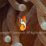 カクレクマノミ 幼魚 学名:Amphiprion ocellaris