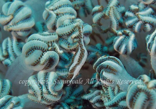 カクレモエビ属の一種 学名:Alcyonohippolyte sp