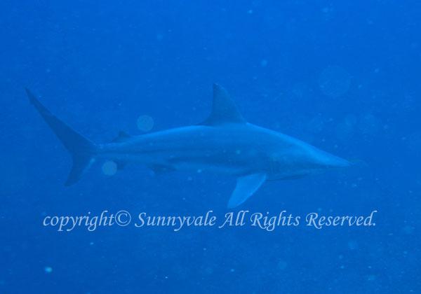 カマストガリザメ 学名:Carcharhinus limbatus