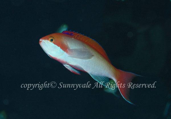 カシワハナダイ 学名:Pseudanthias cooperi